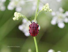 Minstrel Shield Bug