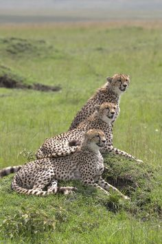 Aha. A perfect pic of our cheetahs. they are so nosy. they are watching the elephant family head to the mud pond...............