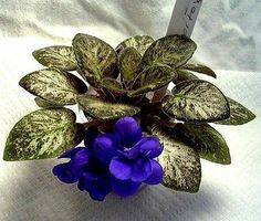 African Violet PLANT Midget Silver Fox old mosaic mini Champion ~ Would like to get.