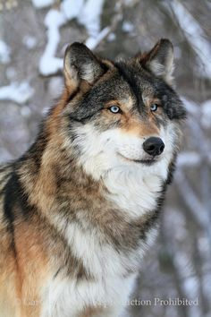 Blue eyed wolf --------- (The Blue eye's will get you every time! :D)