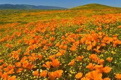 Field of poppies Reminds me of A Wizard of Oz Antelope Valley California California Poppy, California Dreamin', Antelope Valley Poppy Reserve, San Gabriel, Orange Flowers, Beautiful Gardens, Places To See, Poppies, California