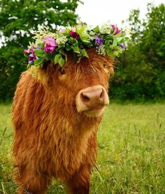 """"""" Just wanted to moo-by and let you know we are and of course to share a cute cow wearing a flower crown! Cute Cows, Cute Funny Animals, Cute Baby Animals, Animals And Pets, Cute Baby Cow, Highland Calf, Scottish Highland Cow, Mini Highland Cow, Highland Cow Tattoo"""