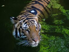 Tigers are fantastic natural swimmers