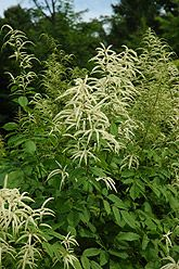 Goatsbeard (Aruncus dioicus) at The Growing Place