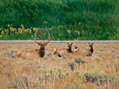 Yellowstone Elk #PinUpLive