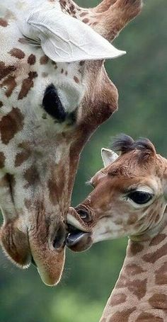 These beautiful animals sadly are disappearing.before scientists even have begun to understand them well. I would hate to see the beloved giraffe disappear from superstitions-related over-hunting. Giraffe Pictures, Animal Pictures, Cute Pictures, Cute Baby Animals, Animals And Pets, Funny Animals, Mother And Baby Animals, Beautiful Creatures, Animals Beautiful