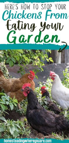 When your chickens find your garden, they destroy it quickly. Don't let your flock destroy all of your hard work; use these 10 tricks to stop your chickens from getting in your garden. The last thing you want is chickens using your garden beds like their dust bath! r Chicken Feed, Chicken Eggs, Raising Backyard Chickens, Coops, Natural Living, Garden Beds, Hard Work, Homesteading, Nature