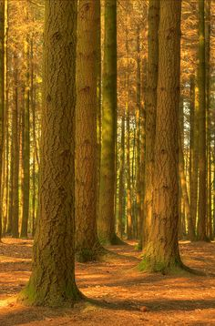 ~~Ensconced ~ forest of pine trees by Phil Hemsley~~