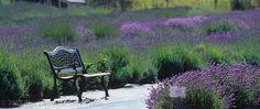 Lavender  Bench | by sequimlavenderfestival