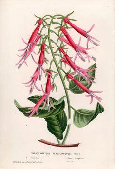 1850 Botanical Print Plant Illustration by AntiquePrintGarden