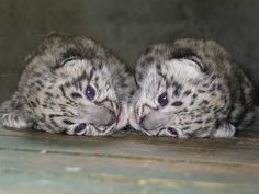 DAAAW! Baby Snow Leopards!! <3