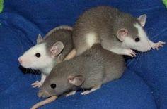 Rattie trekies