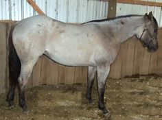 Blue Pawneee Princess, a Quarter Horse Grulla Roan, never seen one of these