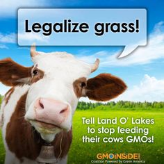 Cows should be eating grass- not GMO grains! GMO corn, soy, cotton and alfafa make up the factory-farmed dairy cow diet. Tell Dean Foods and Land O'Lakes you don't want to be a lab rat: http://gmoinside.org/take-action/tell-dean-foods-use-non-gmo-feed-cows  To avoid GMO dairy look for certified organic products since organic standards prohibit the use of GMOs.