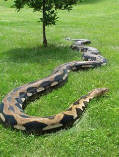Reticulated Python, no lizards or snakes stop growing until they die, but reticulated pythons are the largest known reptiles on earth Les Reptiles, Reptiles And Amphibians, Beautiful Snakes, Animals Beautiful, Cool Snakes, Scary Snakes, Poisonous Snakes, Reticulated Python, Giant Snake