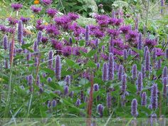 Image result for agastache planting combinations