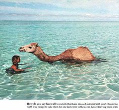 "Robyn Davidson swims with her camel on shore of Western Australia, Photo by Rick Smolan. The so-called ""camel-lady"" undertook a trek from Alice Springs to the Indian Ocean on foot. Robyn Davidson, Camel Tow, Beautiful Creatures, Animals Beautiful, Cute Animals, Beautiful Ocean, Large Animals, Alpacas, Mundo Animal"