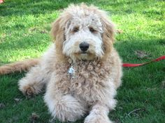 Cute Puppies, Cute Dogs, Mini Goldendoodle, Dog Mixes, Doodle Dog, Therapy Dogs, Mans Best Friend, Dog Love, Animal Pictures