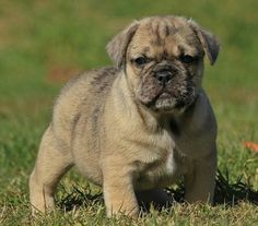 Bullpug: Pug & English Bulldog The Most Beautiful And Rare Dog Breed Mixtures You'll Ever See Pug Mixed Breeds, Rare Dog Breeds, Cute Dogs Breeds, Cocker Spaniel, Yorkshire Terrier, Pet Dogs, Dogs And Puppies, Pug Cross, Dog Crossbreeds