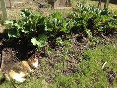 Rhubarb comes up so fast, I bet you could notice growth from one day to the next. I don't think I'll want to eat the rhubarb next to the cat, though.  —Rod Boyce, managing editor.