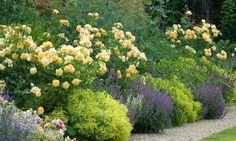 Perennial Combinations, Plant Combinations, Summer Borders, Plant combination ideas, BPerennial combinations, David austin Rose Graham Thomas, Nepeta Six Hills Giant, alchemilla mollis