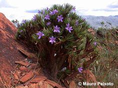 Vellozia species - 'Cipó'