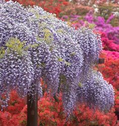Ashikaga flower park, Japan.