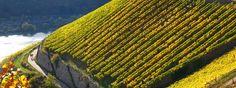 Weinanbaugebiet Rheingau - Wein und Weinberge im Rheingau.    © Rüdesheim Tourist AG, Fotograf: Karl-Heinz Walter