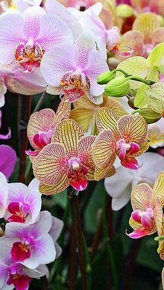 orchids_flowers_colorful_different_close-up_34089_640x1136 | Flickr - Photo Sharing!