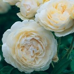 Windermere English Roses    (English Rose Collection)  Bred By David Austin  Flower Type Double/Full Bloom  Hardiness Hardy  Fragrance Strong   Repeating Excellent   Perfectly rounded buds open to full, cupped flowers. The blooms are rich cream at first, paling to almost pure white. They have a delicious, fruity fragrance with a hint of citrus. A very free-flowering variety which continues to flower until very late in the season. It forms an attractive, neat and compact plant which…