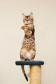 Bengal Cat, my next baby