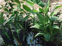 Imperial Taro, behind Swamp Hibiscus, far right Thalia Delbata Purple Loosestrife, Pond Plants, Thalia, Water Garden, See Photo, Hibiscus, Plant Leaves, Water Gardens