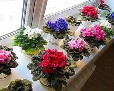 este un sfat de aur! Little Flowers, Beautiful Flowers, Flowers Perennials, Foliage Plants, Organic Raised Garden Beds, Flower Cart, Floral, Love Flowers, African Violets
