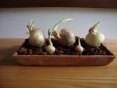 Una decorazione con cipolle germogliate -  Foto-diario di una giardiniera curiosa