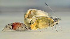 Foto van ontpoppende vlinder is de mooiste, vindt National Geographic | NOS
