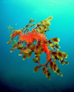 Gorgeous!  A Male Leafy Sea Dragon laden with eggs.
