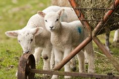 """#sheepoftheweek. New born lambs, @BritishWool we love this time of year @_atYD in the Yorkshire Dales @Welcome2Yorks"""