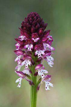 **Orchis ustulata