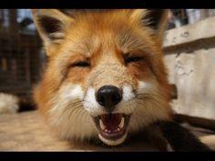 Zao Fox Village, a Sanctuary in Japan Where Foxes Roam Freely - My Modern Met