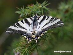 Scarce Swallowtail / Sydlig Svalehale / Iphiclides podalirius,