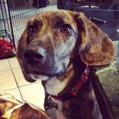 Molly is an adoptable Plott Hound Dog in Farmington, CT. *URGENT* Molly is an 18 month old, 40 lb. hound mix. We're pretty sure she is a Plott hound mix, maybe with some greyhound. Molly was in a hig...