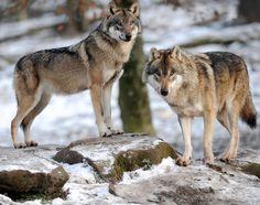 フランス東部ロド(Rhodes)の動物園で飼育されているオオカミ(2013年5月6日撮影、資料写真)。(c)AFP/JEAN-CHRISTOPHE VERHAEGEN ▼28Aug2014AFP|オオカミ間でも「あくび」は伝染する、東大研究チーム http://www.afpbb.com/articles/-/3024286 #Gray_wolf #Canis_lupus #Lobo #Loup_gris #Wolf