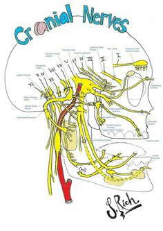 foramina of the facial nerves ANY head trauma or injury needs to be corrected with CranioSacral Therapy. Dental Anatomy, Brain Anatomy, Medical Anatomy, Human Anatomy And Physiology, Anatomy Study, Facial Nerve Anatomy, Cranial Anatomy, Skull Anatomy, Nerf Facial