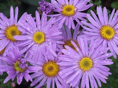 Aster amellus ....farewell