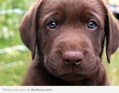 chocolate lab puppy<3
