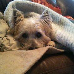 """My Cairn Terrier, Mac, the """"Terror"""""""