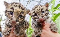 A pair of 1-month-old baby clouded leopard cubs are presented to the media by zoo keepers at the Olmense Zoo in Olmen, Belgium.