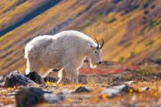 Photo of Mountain Goat near Raven Glacier, Chugach State Park, Southcentral Alaska, Fall