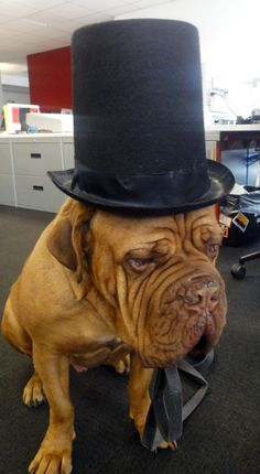 french mastiff with a top hat