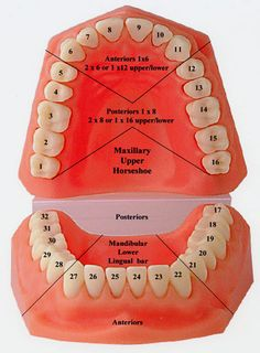 Tooth Numbering System Dentists have a specialized notation systems for when they discuss and write about specific teeth. Each tooth is assigned a number and is therefore more convenient to reference. http://www.topdentist-ny.com/tooth-numbering